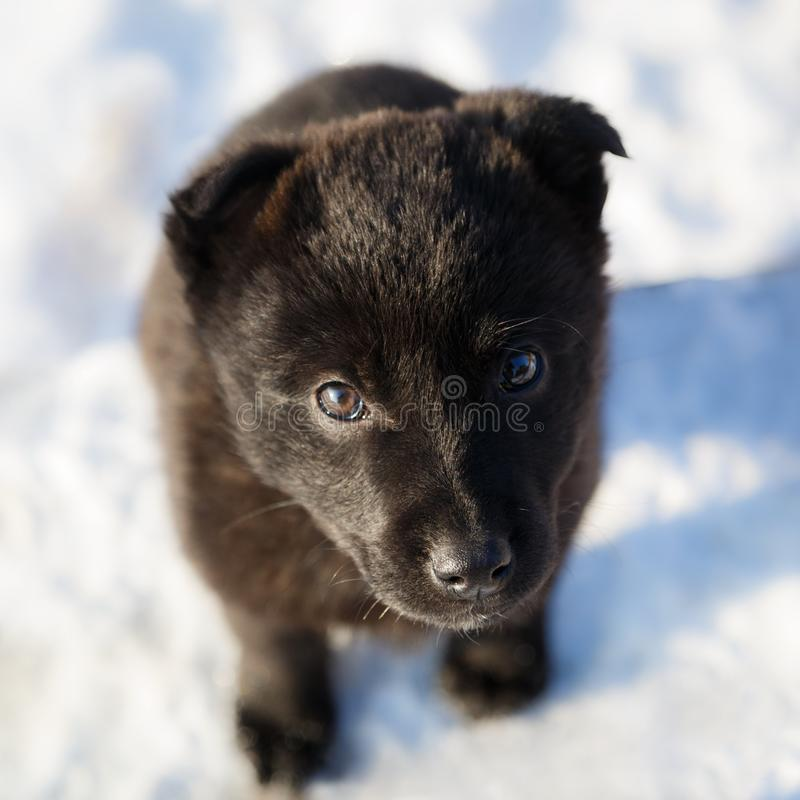 Cute lonely black colour puppy is standing in the snow and looking plaintively stock photography