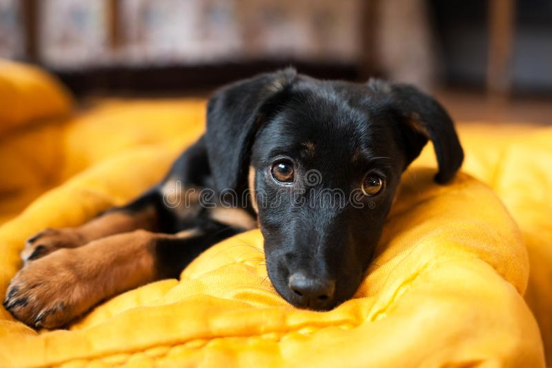 Cute lonely black puppy dog royalty free stock photo