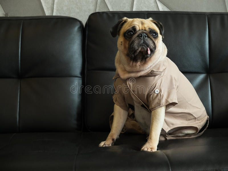 Cute lonely pug dog puppy sad and sit on black sofa wait someone. royalty free stock photography