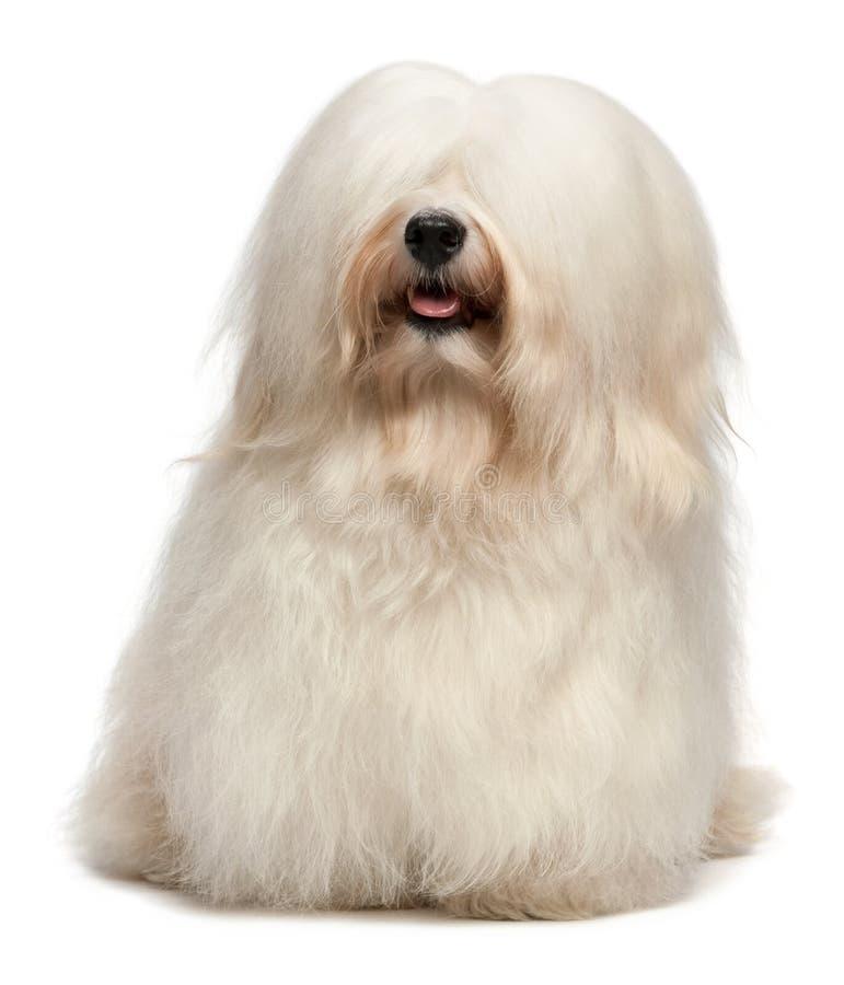 Cute long hair cream Havanese dog stock images