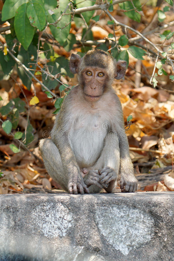 A cute long tailed macaque monkey in a tropical forest at Chonburi, Thailand. A cute long tailed macaque monkey in a tropical forest at Chonburi, Thailand royalty free stock photography