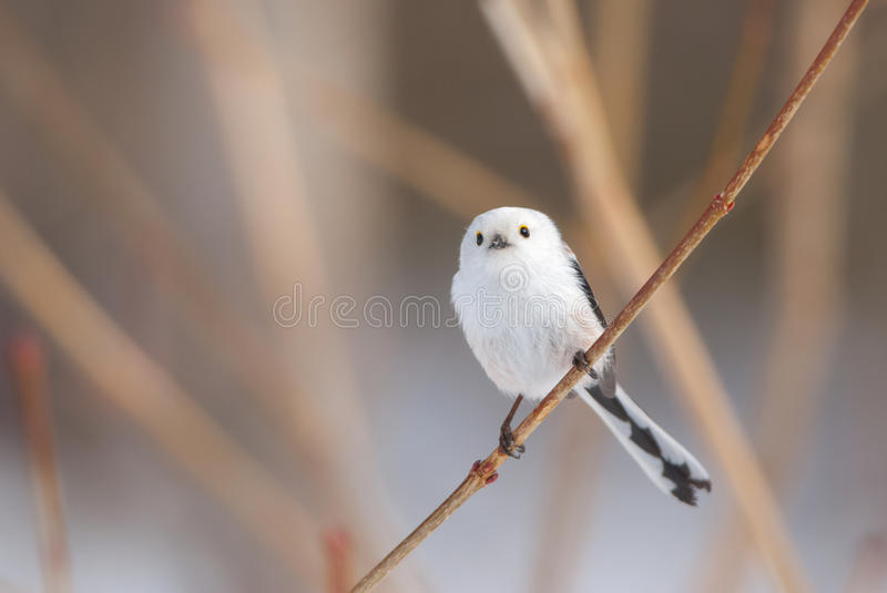 Long-tailed tit. Cute long-tailed tit on a branch royalty free stock photo