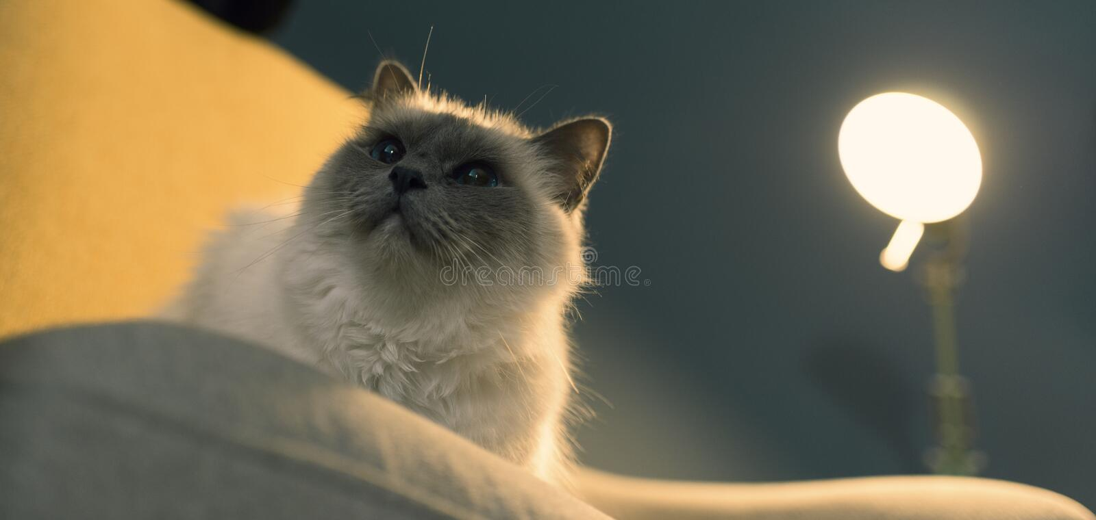 Cute lovely cat relaxing on the armchair. Cute lovely birman cat relaxing on the armchair at home stock photography
