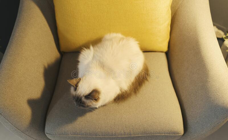 Cute lovely cat relaxing on the armchair. Cute lovely birman cat relaxing on the armchair at home royalty free stock image