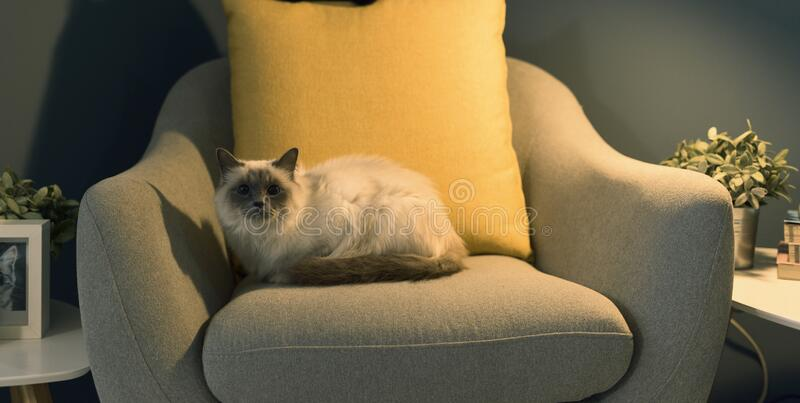 Cute lovely cat relaxing on the armchair. Cute lovely birman cat relaxing on the armchair at home royalty free stock photos