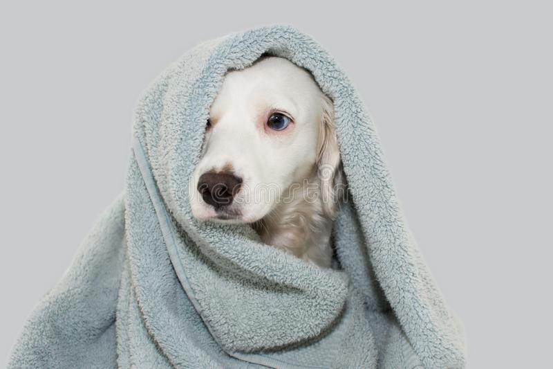 CUTE DOG WITH BLUE EYES WRAP WITH A COLORED TOWEL WAITING FOR A BATH WITH A SAD EXPRESSION. ISOLATED AGAINTS GRAY BACKGROUND stock photography