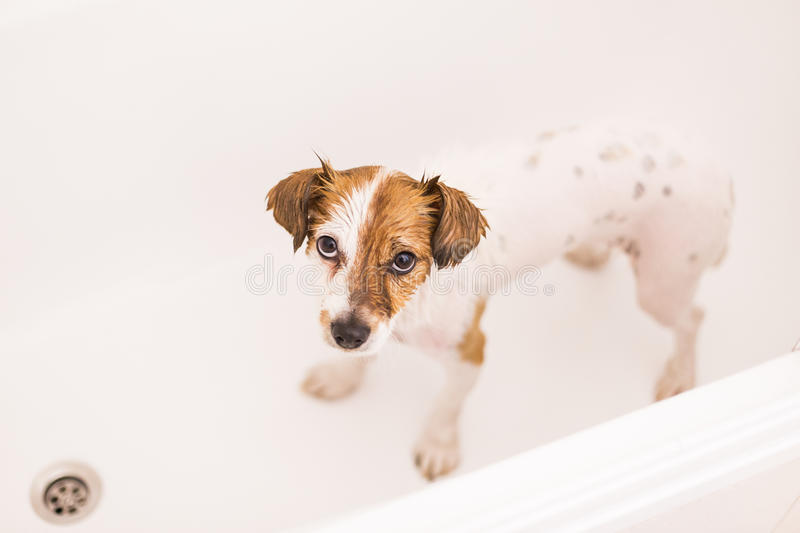 Cute lovely small dog wet in bathtub looking at the camera. whit. E background stock photos