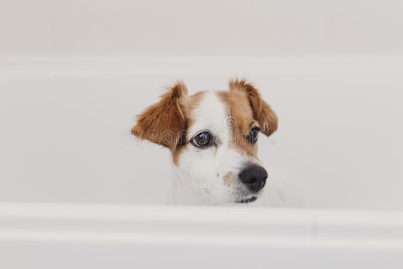 Cute lovely small dog wet in bathtub. Young woman owner getting her dog clean at home. white background. Brown, funny, animal, bathroom, soap, purebred, bubble stock photography
