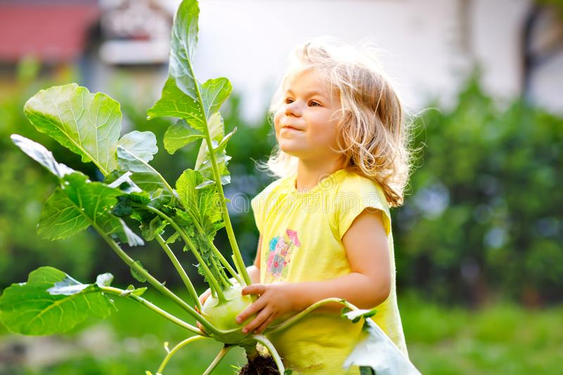 Cute lovely toddler girl with kohlrabi in vegetable garden. Happy gorgeous baby child having fun with first harvest of stock photography