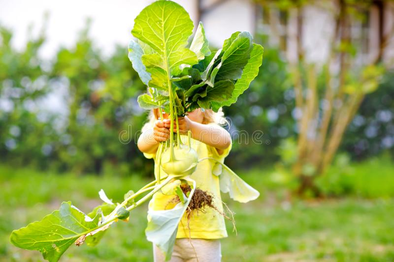 Cute lovely toddler girl with kohlrabi in vegetable garden. Happy gorgeous baby child having fun with first harvest of stock photo