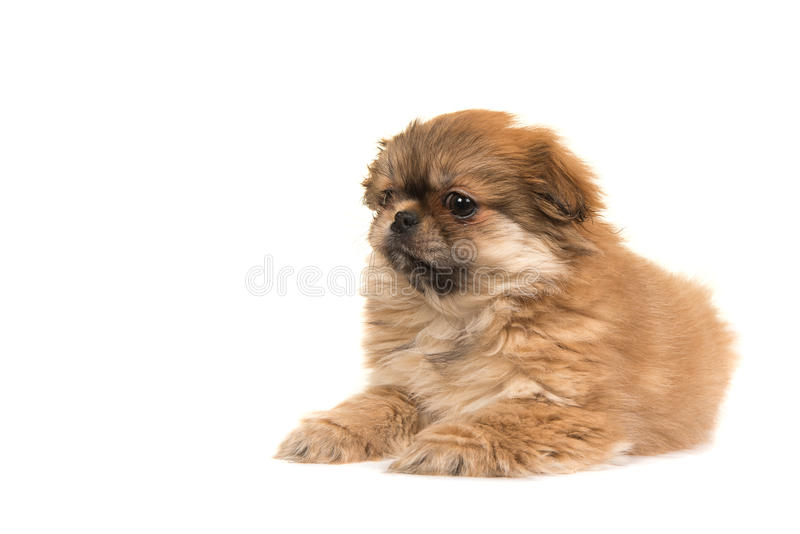 Cute lying on the floor fluffy tibetan spaniel puppy seen from t. He side isolated on a white background stock photo