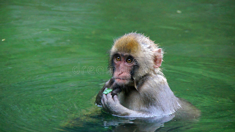 Cute macaque in hot tub in Jigokudani snow monkey park. Macaque in onsen bath in summer in Yamanouchi in Japan stock photos