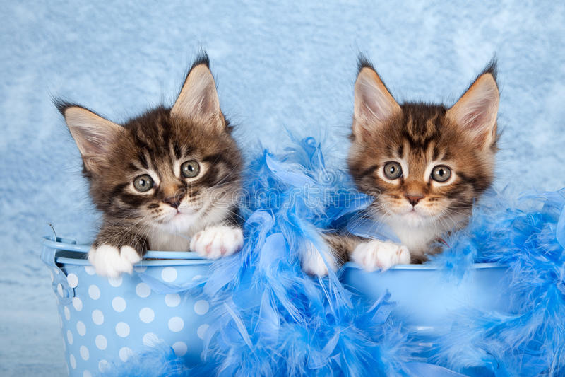 Cute Main Coon kittens. Two cute Main Coon kittens sat in decorative blue buckets wrapped in feather boa royalty free stock photos