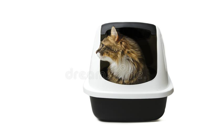 Cute maine coon cat sitting in a litter box and looking curious sideways. royalty free stock photos
