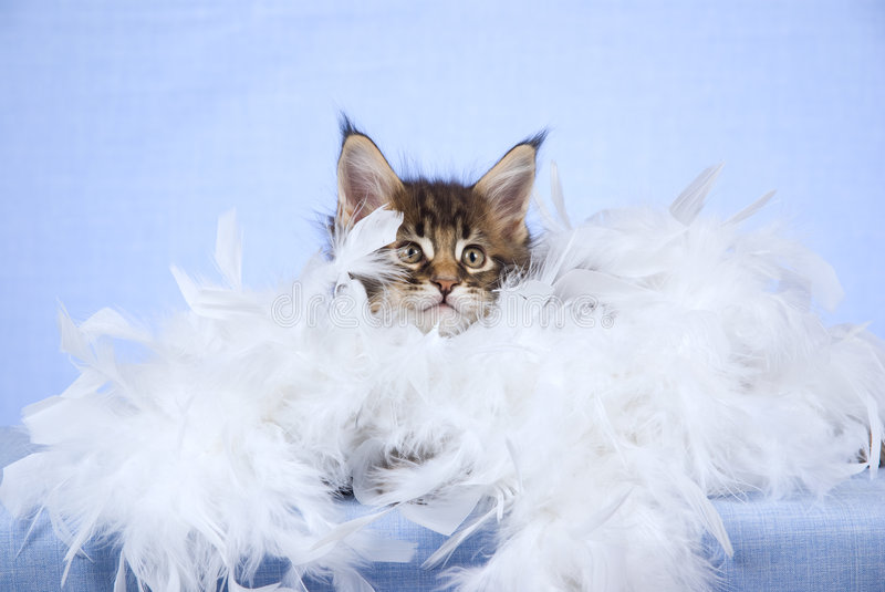Download Cute Maine Coon Kitten With White Boa Stock Image - Image: 8556375