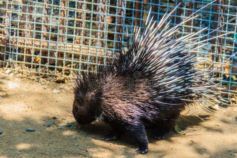 Cute Malayan porcupine, Himalayan porcupine, Large porcupine (Hystrix brachyur) royalty free stock photos