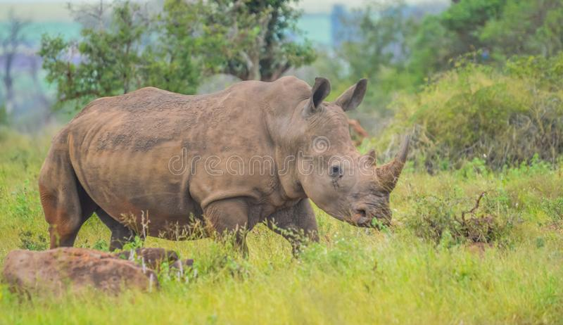 A cute male bull white Rhino in Kruger National Park. Grazing on green savannah stock photos