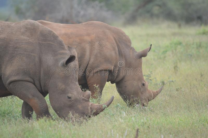 A cute male bull white Rhino in Kruger National Park. In South Africa stock images