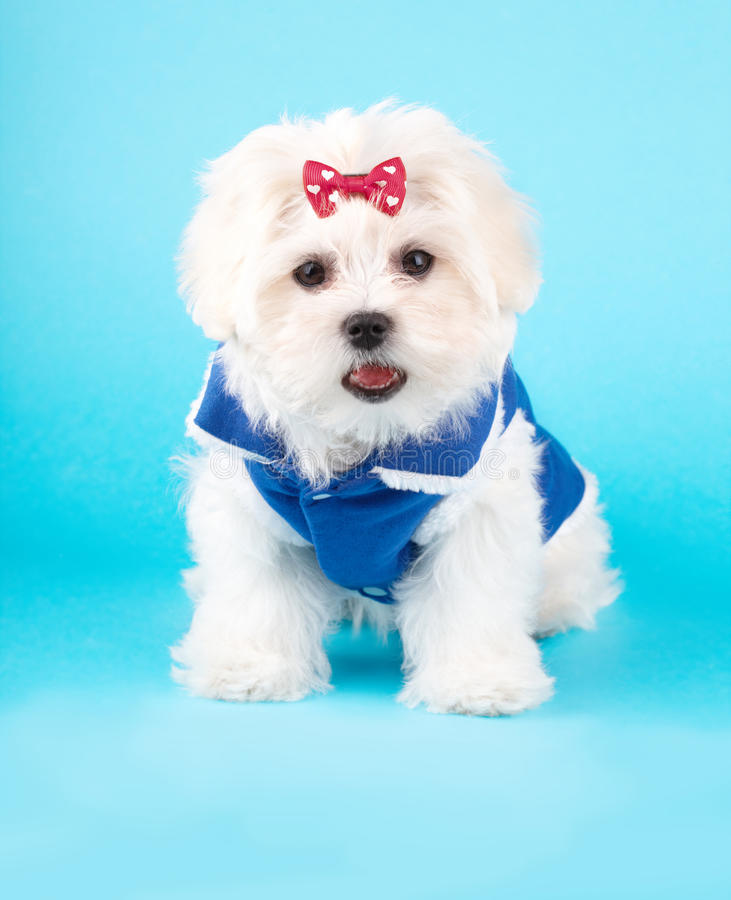 Download Cute Maltese Stock Photos - Image: 25159463