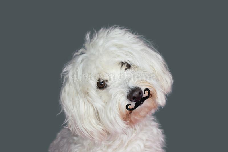 CUTE MALTESE DOG TILTING THE HEAD SIDE WEARING A FAKE MOUSTACHE stock image