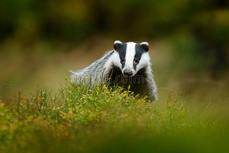 Cute Mammal environment, rainy day. Badger in forest, animal nature habitat, Germany, Europe. Wildlife scene. Wild Badger, Meles m. Cute Mammal environment stock images