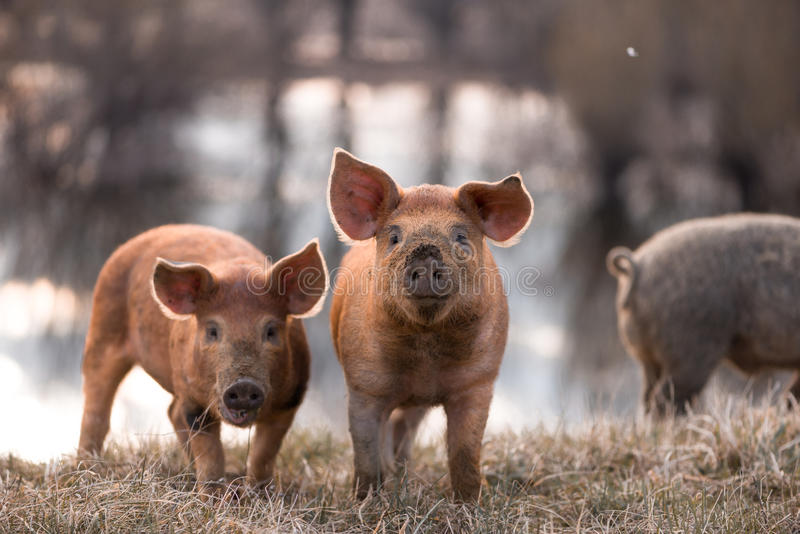 Cute mangalitsa pigs. Cute orange young mangalitsa (furry) pigs on the pasture looking at the camera. Selective focus, warmer tones stock photos
