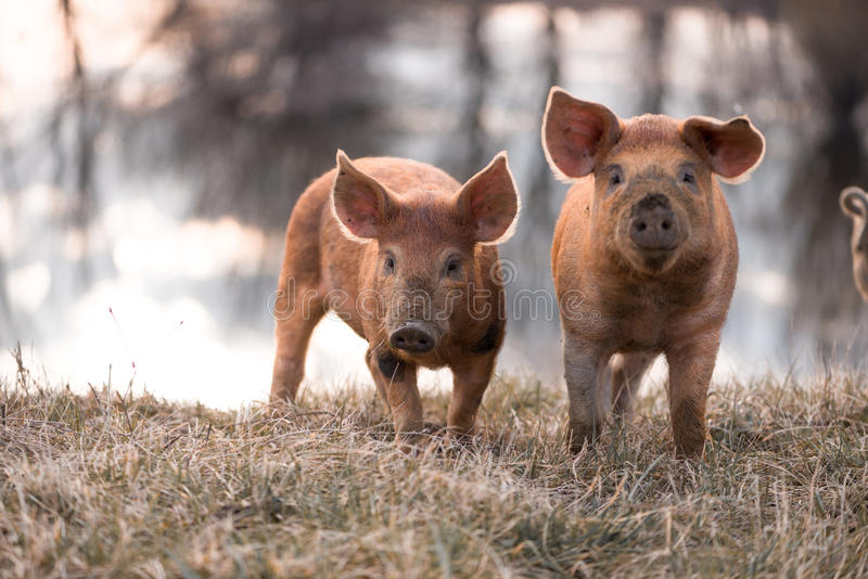 Cute mangalitsa pigs. Cute orange young mangalitsa (furry) pigs on the pasture looking at the camera. Selective focus, warmer tones stock images