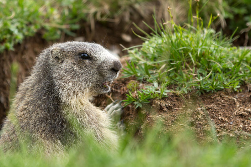 Download Marmot in the alps stock image. Image of green, mountains - 29969901
