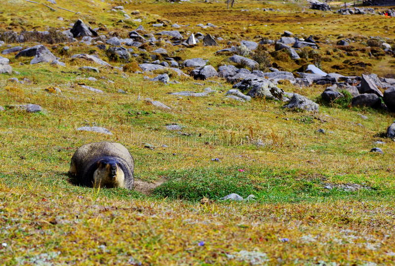 Cute marmot royalty free stock image