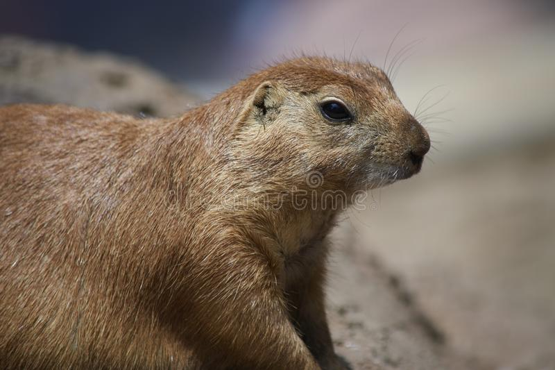 Cute marmot looking around in nature royalty free stock photography