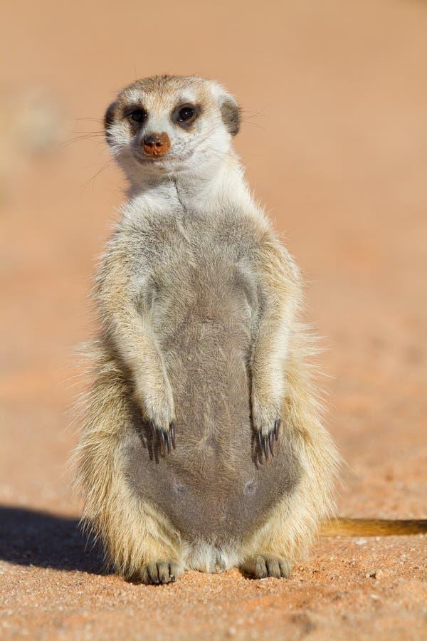 Free Cute Meerkat Royalty Free Stock Photography - 26374817