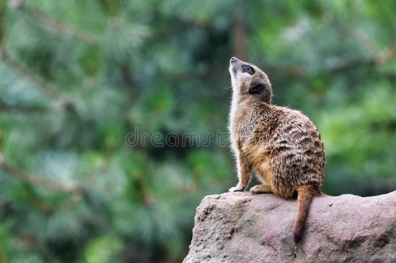 Cute meerkat looking in the sky. And looks for dangers. The meerkat or suricate Suricata suricatta is a small carnivoran belonging to the mongoose family stock images