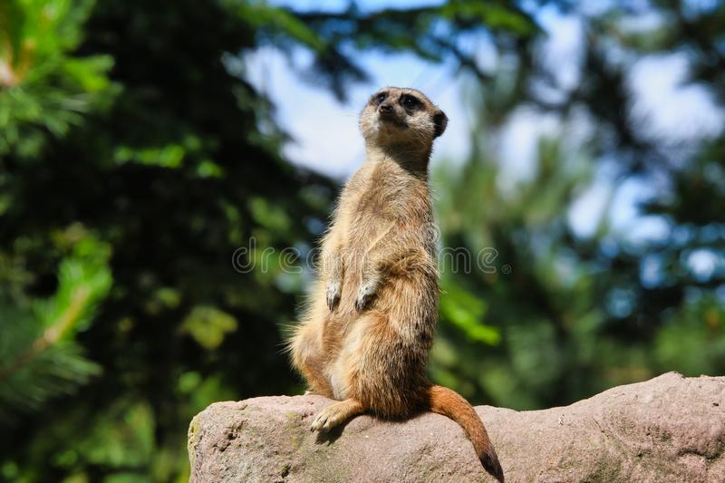 Cute meerkat looking in the sky. And looks for dangers. The meerkat or suricate Suricata suricatta is a small carnivoran belonging to the mongoose family stock photography