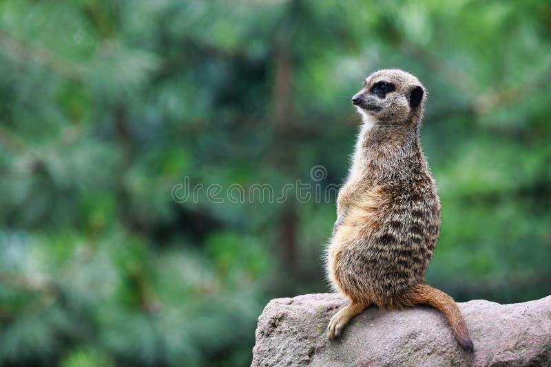 Cute meerkat looks for dangers. The meerkat or suricate Suricata suricatta is a small carnivoran belonging to the mongoose family. Meerkats live in all parts stock images