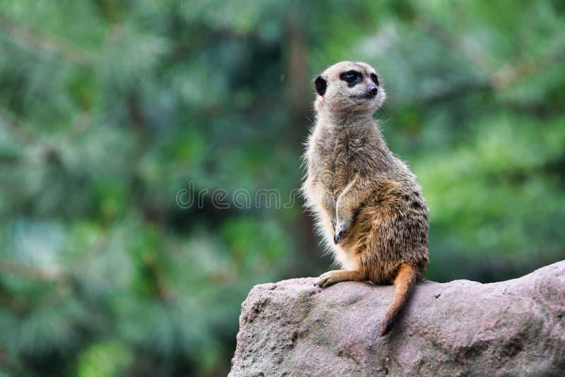 Cute meerkat looks for dangers. The meerkat or suricate Suricata suricatta is a small carnivoran belonging to the mongoose family. Meerkats live in all parts stock image