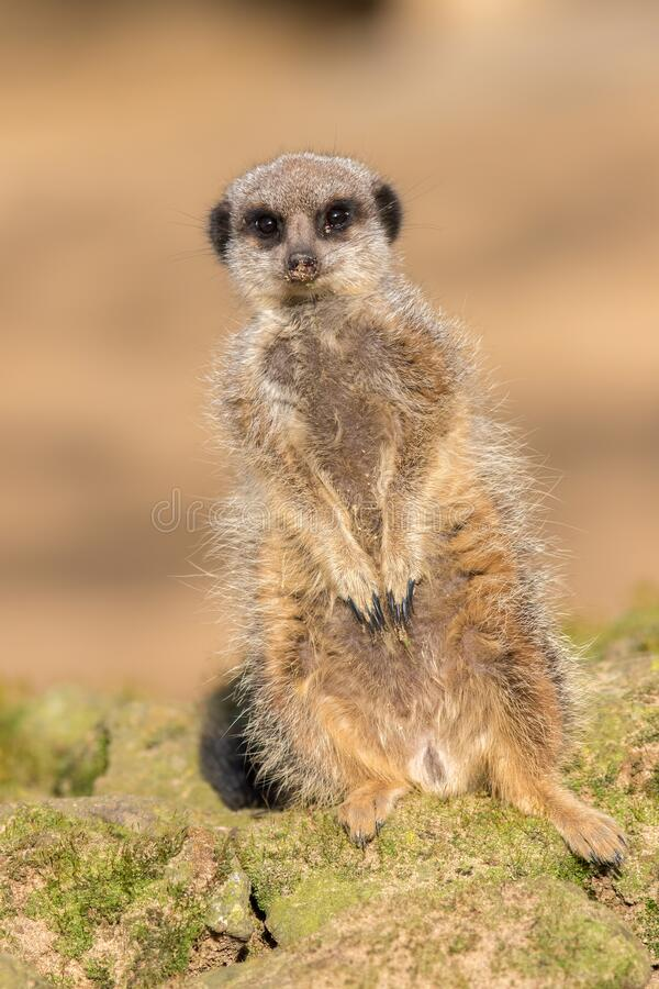 Cute meerkat portrait image. One leg shorter than the other stock image