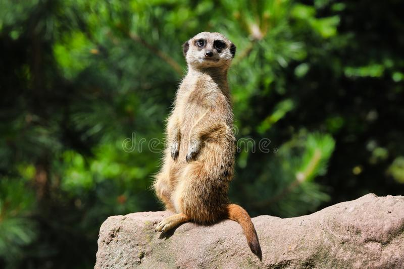 Cute meerkat poses for the camera. The meerkat or suricate Suricata suricatta is a small carnivoran belonging to the mongoose family. Meerkats live in all stock photography