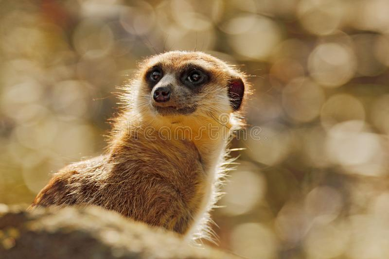 Cute Meerkat, Suricata suricatta, sitting on the tree trunk in white flower meadow, Namibia. Beautiful animal in the nature royalty free stock images