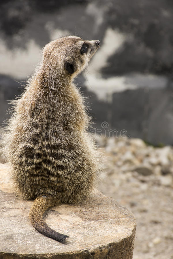 Cute Meerkat Suricata Suricatta on stone stock images