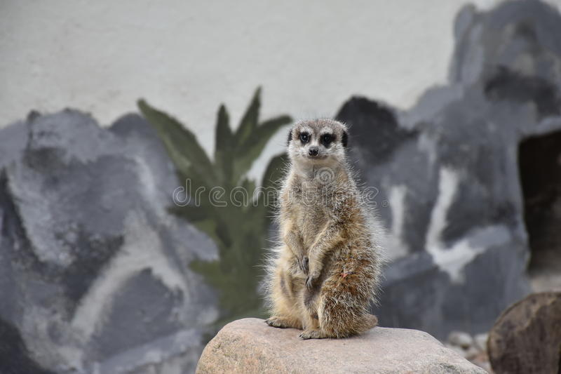 Cute Meerkat & x28;Suricata Suricatta& x29; on stone stock photography