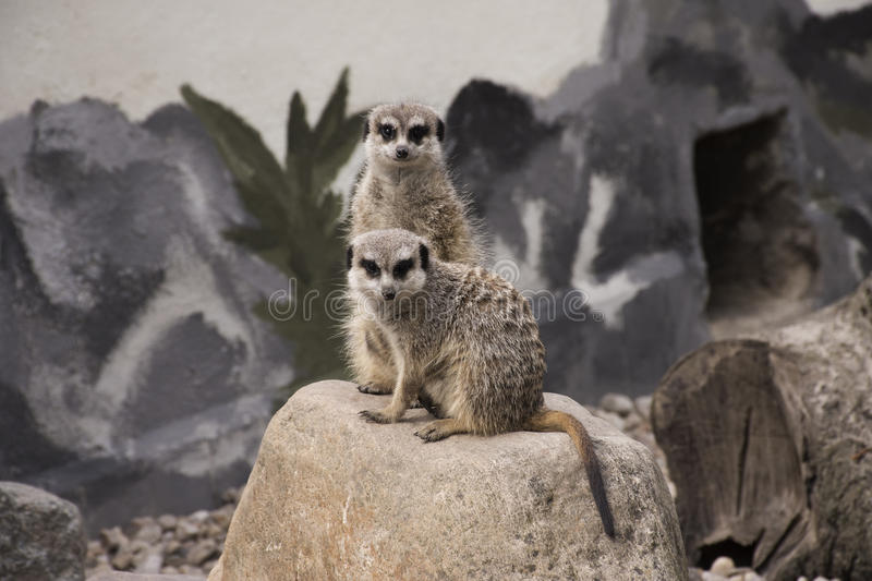 Cute Meerkat Suricata Suricatta on stone royalty free stock photography