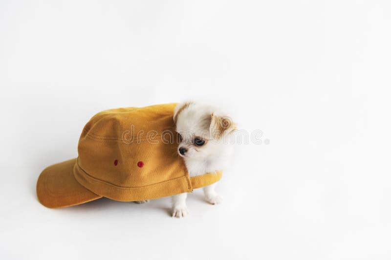 Cute Miniature Chihuahua Dog Concept stock image