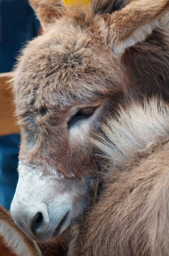 Cute miniature donkey stock image