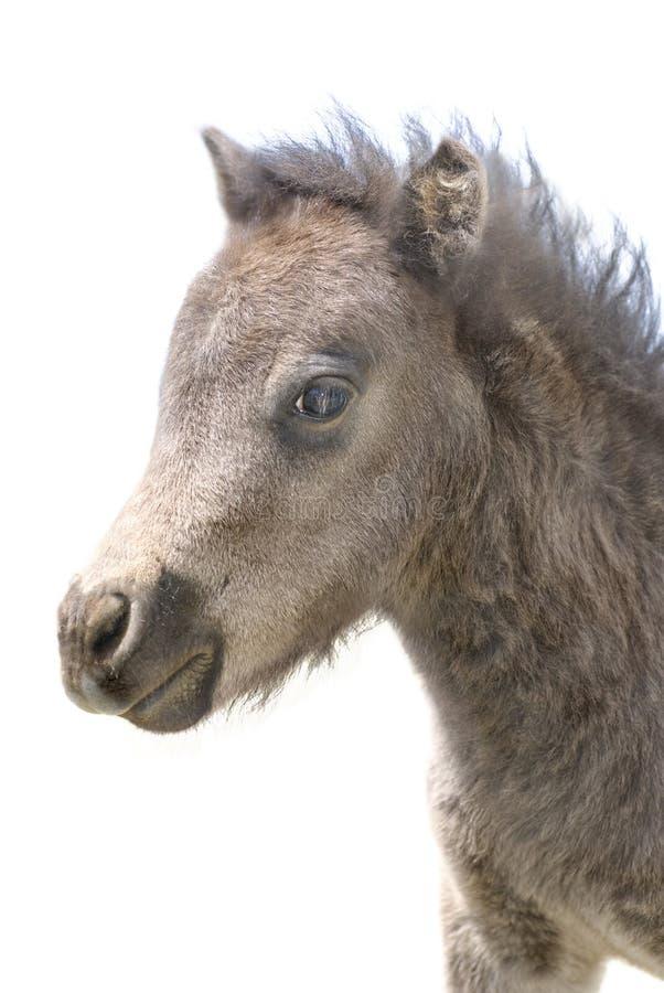 Cute Miniature Foal Portrait on White stock photo