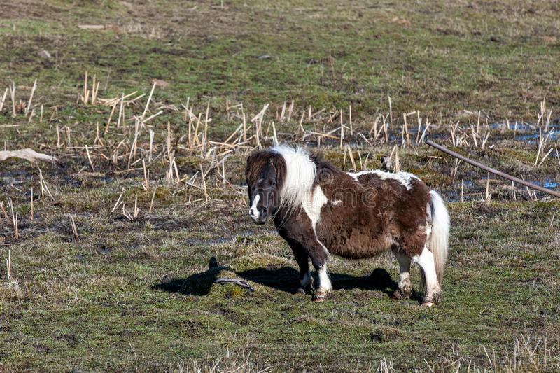 Cute miniature horse in field. stock photography