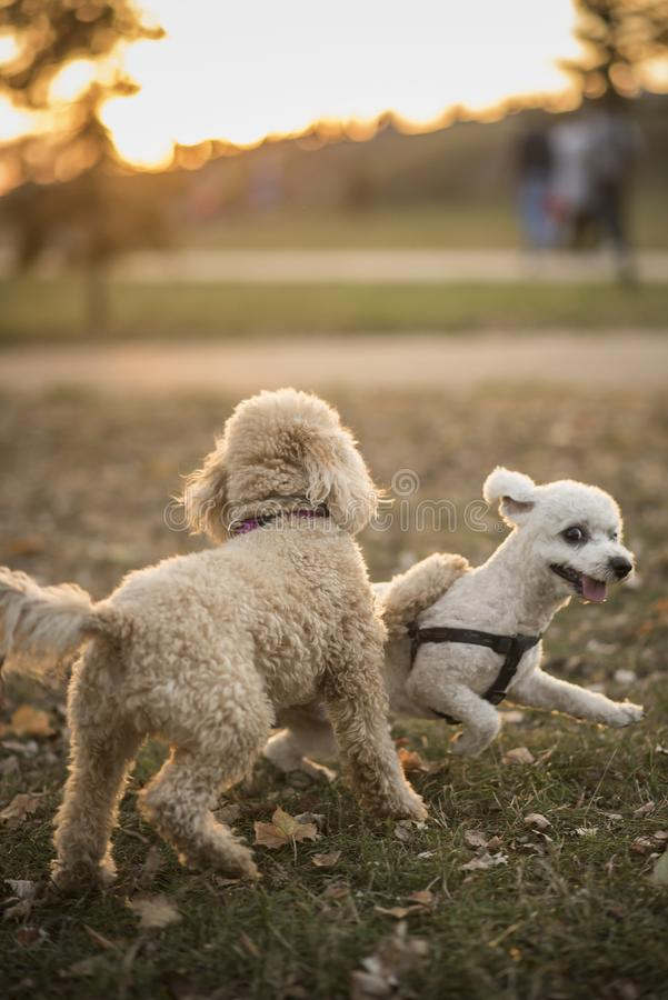 Cute miniature poodles playing in the park stock photo