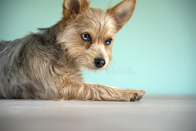 Cute mix bleu merle chihuahua and yorkshire terrier puppy dog with a bleu eye royalty free stock photos