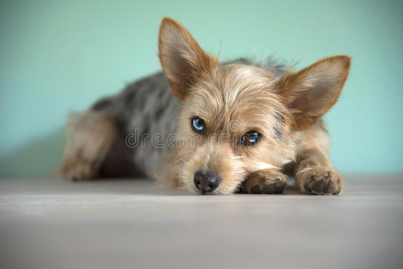 Cute mix bleu merle chihuahua and yorkshire terrier puppy dog with a bleu eye stock photos