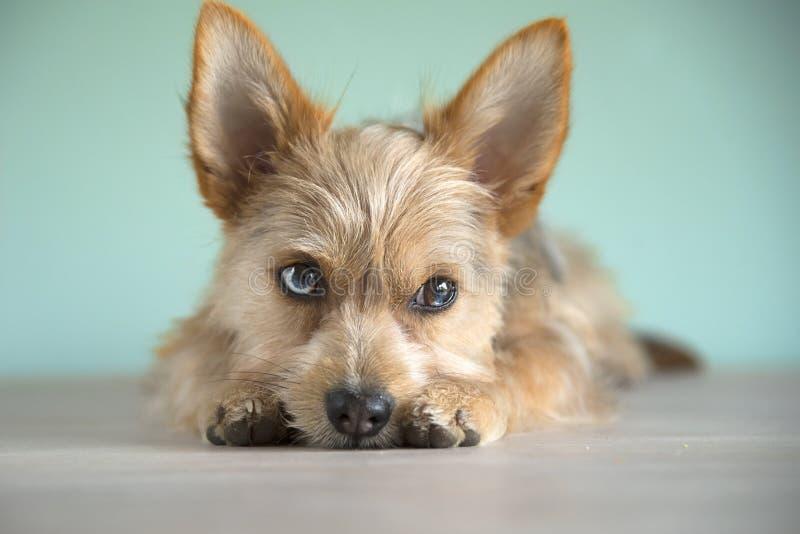 Cute mix dog puppy with a bleu eye royalty free stock photos