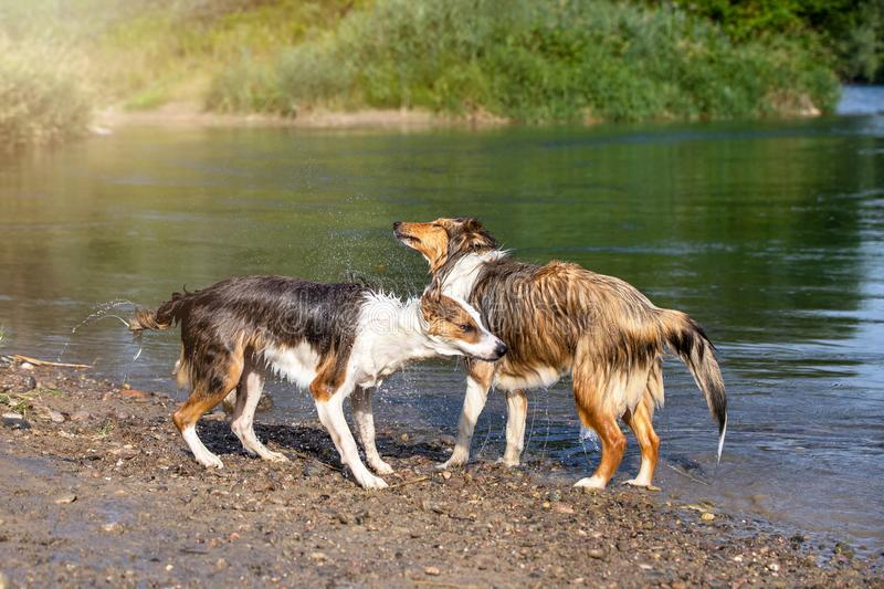 Mixed Breed dog and shetland sheepdog standing at the riverside. Cute Mixed Breed dog and shetland sheepdog standing at the riverside of a Lake royalty free stock photography